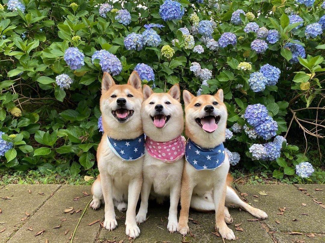 可爱狗狗图片|看了就开心的柴犬三兄弟的微笑照片