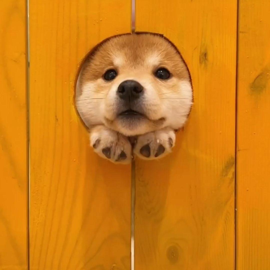 可爱狗狗图片头像|从圆孔钻出来的沙雕狗狗,又蠢又萌
