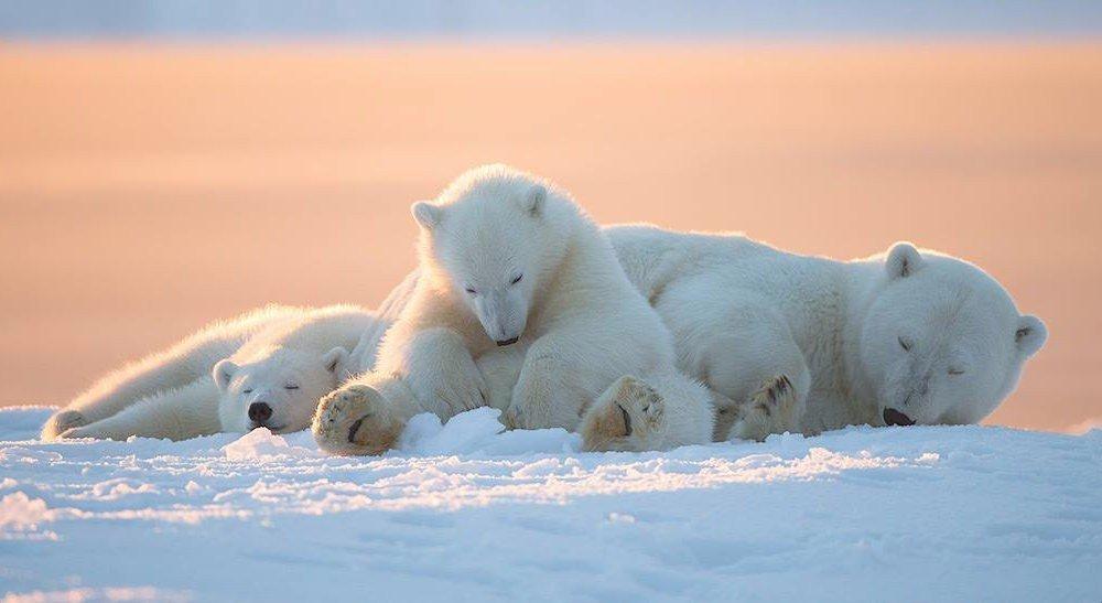 小动物图片|霸气又可爱的北极熊