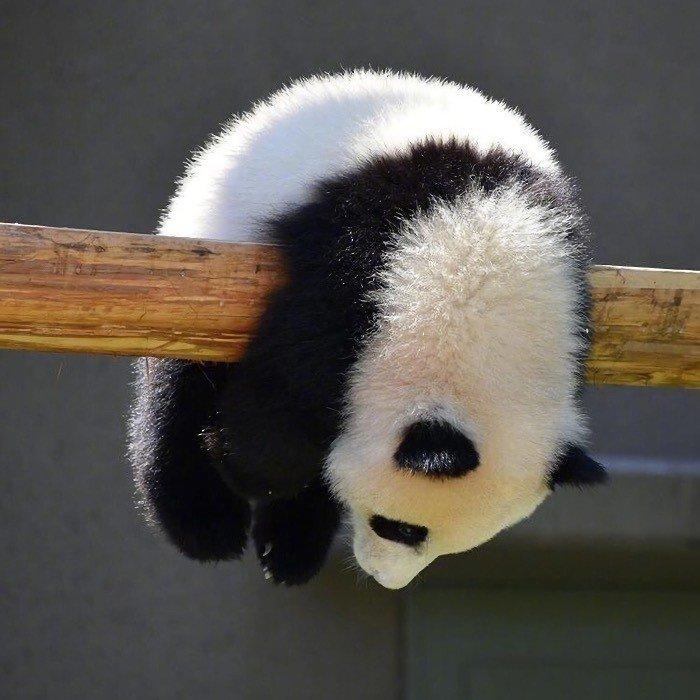 小动物图片头像|调皮可爱的熊猫超萌