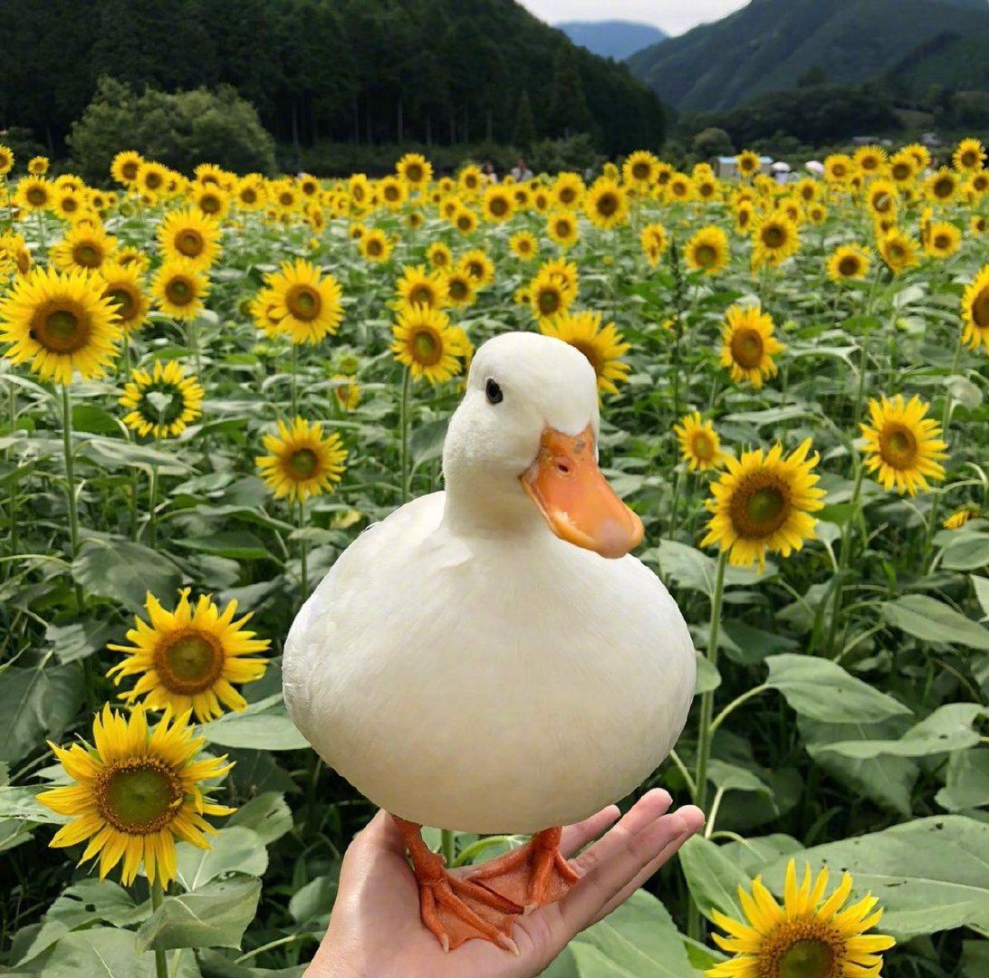 宠物柯尔鸭图片头像,好可爱鸭
