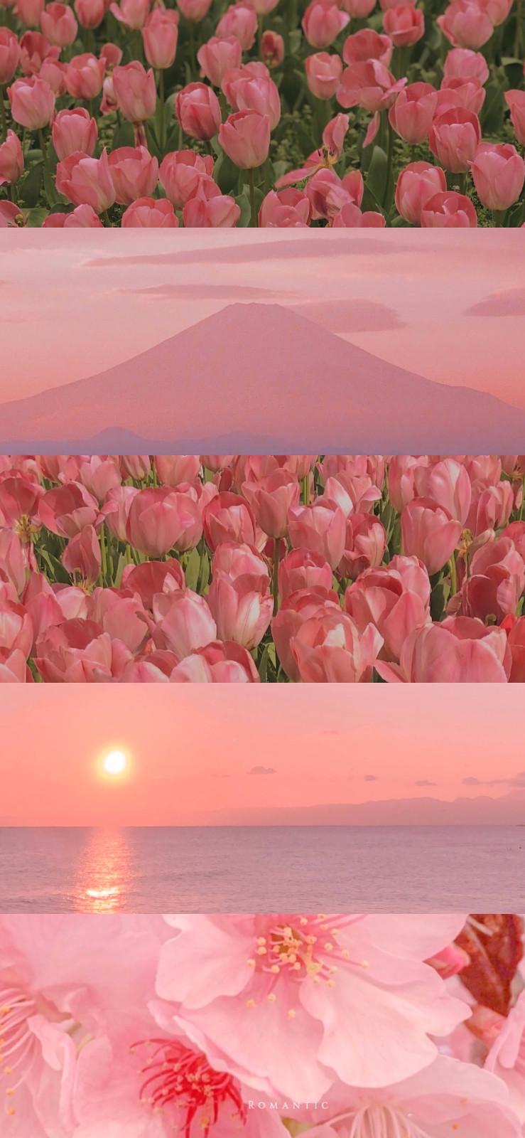 好看的粉色郁金香手机背景壁纸图片