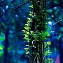 绕着树干的绿藤