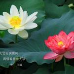池塘里二朵一红一白莲花
