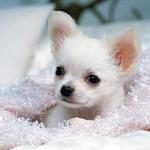可爱小狗吉娃娃