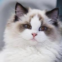 乖巧可爱的软萌布偶猫图片
