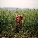 可爱幼犬小型金毛