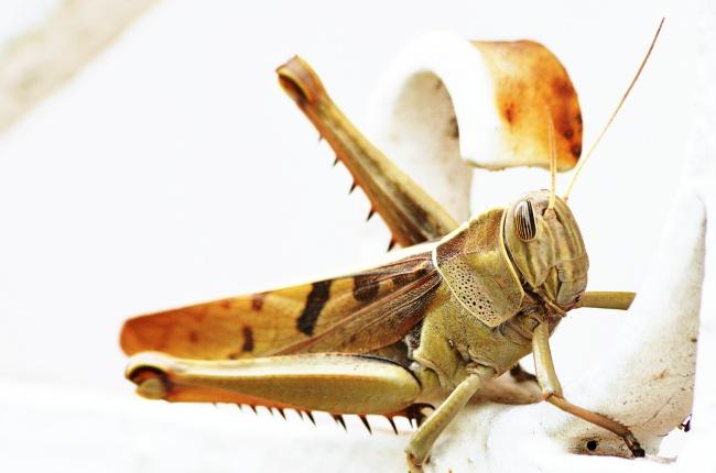 沙漠蝗虫图片 蚂蚱图片