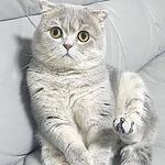 可爱折耳猫图片 超好看的