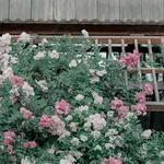唯美森系鲜花静物,蔷薇