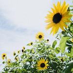 向日葵总能给人们带来希