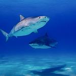 唯美海洋中的鲨鱼图片大