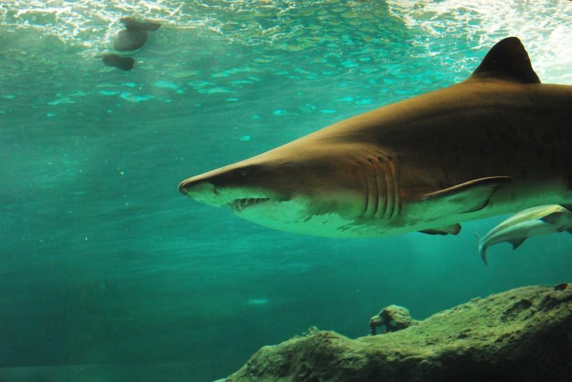 水中的鲨鱼图片