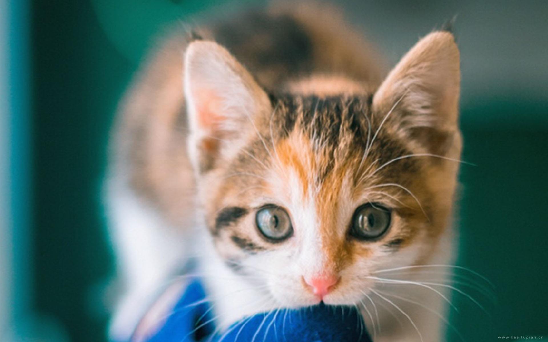 呆萌的可爱猫咪高清动物桌面壁纸图片