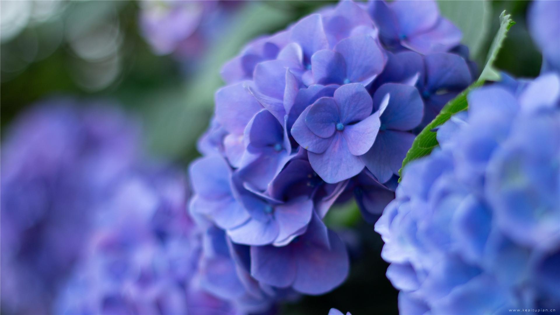 漂亮的绣球花唯美高清桌面壁纸