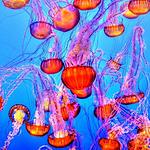 海中好看唯美水母高清壁