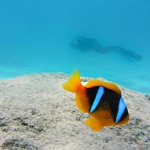 海洋中躲在珊瑚中的可爱小丑鱼壁纸图片