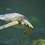 漂亮的海洋里的海龟图片