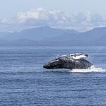 座头鲸图片-好看海中跳跃