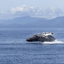 座头鲸图片-好看海中跳跃的座头鲸图片大全