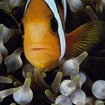 小丑鱼和海葵图片-好看小