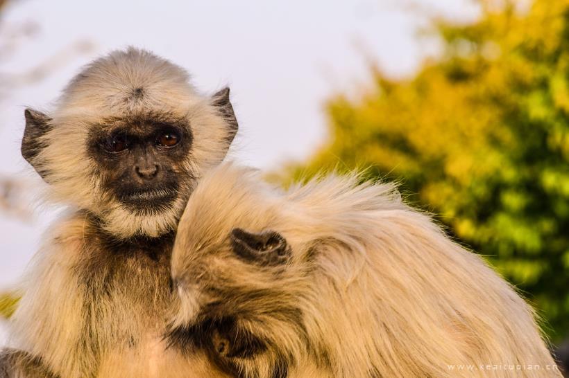 长臂猿图片-漂亮的动物园里笨拙可爱的长臂猿图