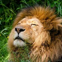 雄狮图片-漂亮威风霸气的雄