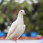 鸽子图片-好看白色的鸽子