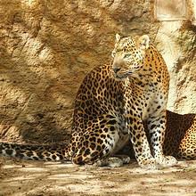 金钱豹图片-漂亮的漂亮威武