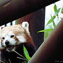 小熊猫图片-活泼可