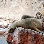 可爱呆萌的小海狮高清壁