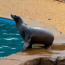 岸边一只可爱漂亮的海狮憨