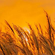 夕阳下的芦苇荡唯美意境风