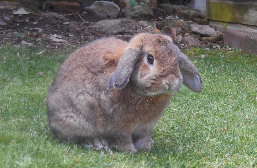 可爱呆萌的兔子毛茸茸看着你图片大全