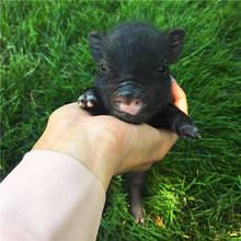 真实可爱的迷你小猪呆萌头
