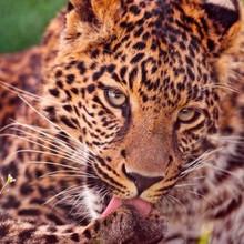 凶猛矫健的野生动物金钱豹