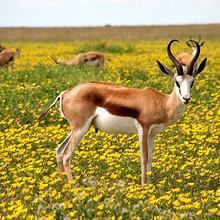 羚羊图片-草原上擅长奔跑的