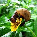 啃食树叶的小蜗牛