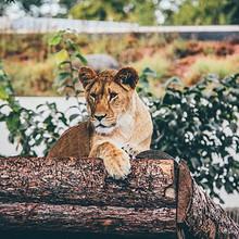 最大的猫科动物-野生母狮子
