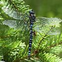 蓝色蜻蜓图片大自