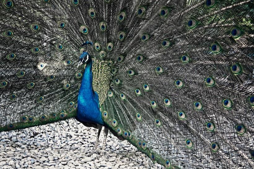 孔雀开屏优雅美丽高清图片动物壁纸