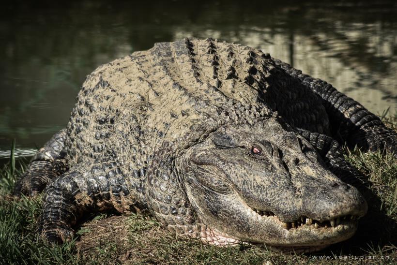 动物世界凶猛大鳄鱼超清壁纸大全