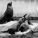 可爱的小海狮高清