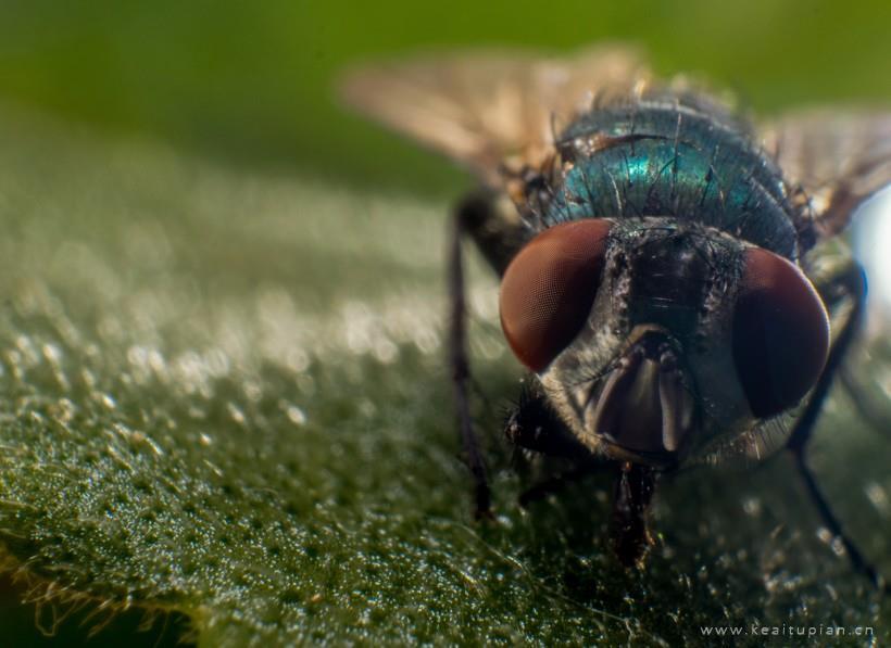 微距摄影苍蝇高清壁纸图片