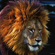 森林之王野外霸气雄壮狮子