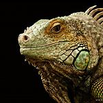 形态各异的蜥蜴高清壁纸