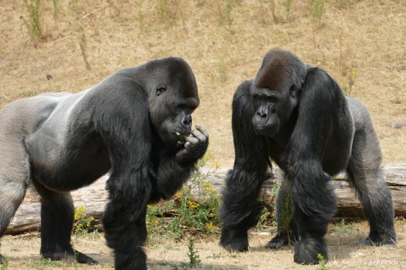 肌肉健壮的银背大猩猩高清图片大全