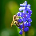 可爱的采蜜小蜜蜂