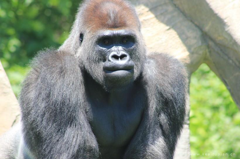 呆萌可爱的银背大猩猩图片