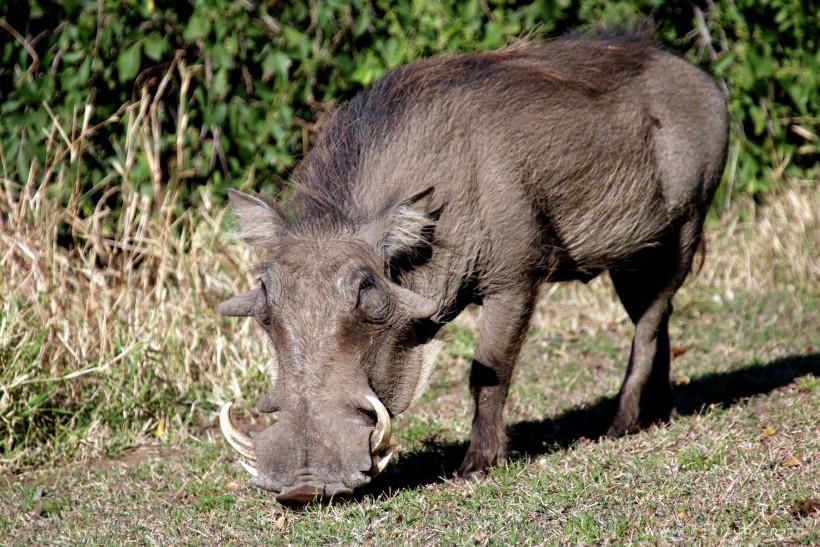 健壮的野猪高清图片大全